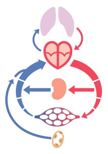 血液が肺、心臓、動脈静脈で循環します。